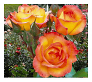 Cottage Farms 3 Piece Pastel Sub-Zero Rose Collction - H140045
