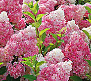 White Flower Farms Hydrangea Vanilla Strawberry - H358375