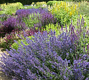 Robertas 4-piece Walkers Low Purple Catmint - M23312