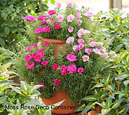 Cottage Farms Moss Rose Patio Garden Kit - M26816