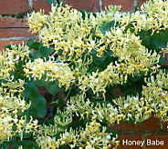 Cottage Farms Honeysuckle Duet Collection - M29719