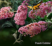 Cottage Farms 3-pc. Cobbler Flutterby Butterfly Bush Collection - M29237