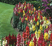 Robertas 4-pc. Hardy Perennial Snapdragon Collection - M29245