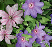 Cottage Farms 2-piece Blue Ribbon Clematis Collection - M29665