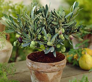 robertas arbequina black olive tree