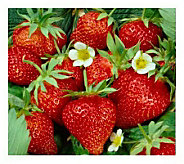 Cottage Farms 50 pc Cream of the Crop Strawberry Collection - M100972