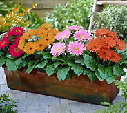 Cottage Farms 4-piece Landscape Gerber Daisy Collection - M41284