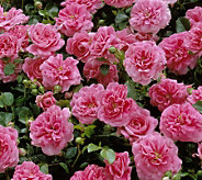 Cottage Farms Weeping Pink Cascade Rose Tree - M23686