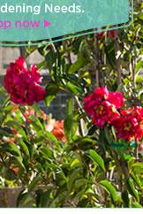Roberta's 6-piece Quadrupled Flowered Oriental Lily