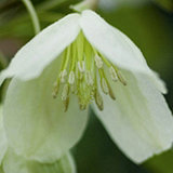 Mont Rose of Guernsey 3 x Clematis Everygreen 7cm Plants