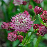 Claire Austin 3 x Astrantia 9cm Pot Plant Collection