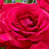 Mont Rose of Guernsey 2 x Royal Rose William Bare Roots