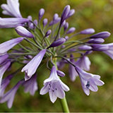 Mont Rose of Guernsey 2 x Fairweather Agapanthus Liam 9cm Potted Plants